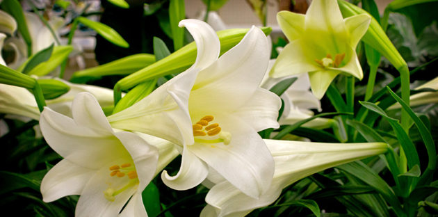 white lillies for funeral service